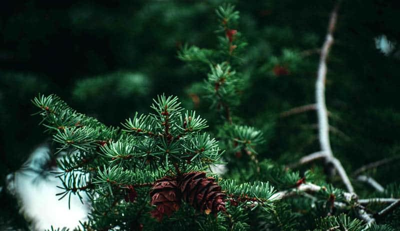 pine tree identification by needles